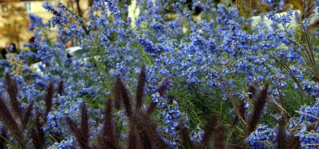 Kein Garten ohne Salbei – 9 Salbei-Arten die Du kennenlernen solltest