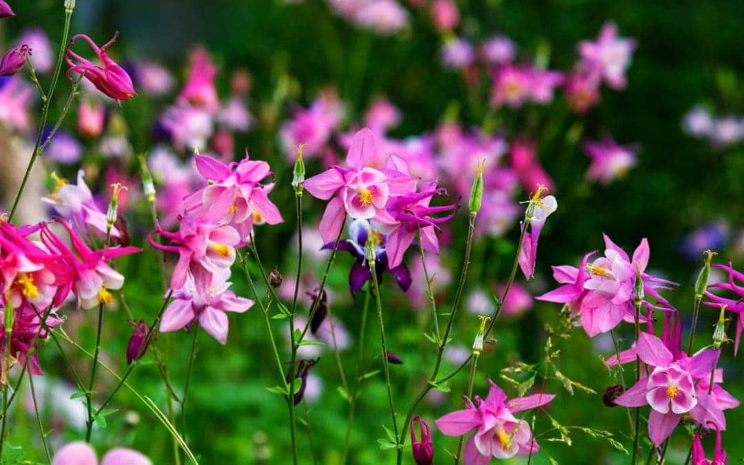 Akeleien – zauberhaftes Farbenspiel im Frühlingsgarten