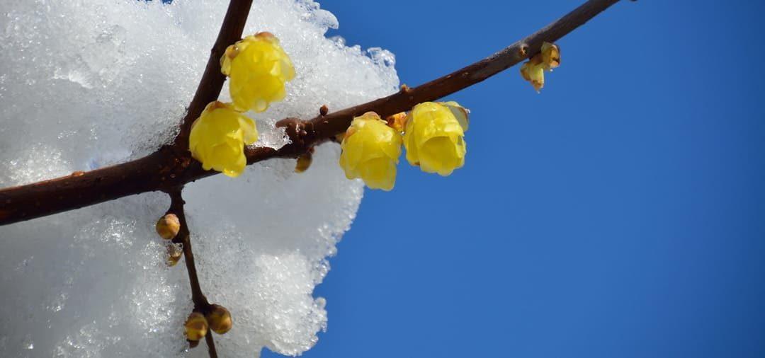 Winterblüte im Garten