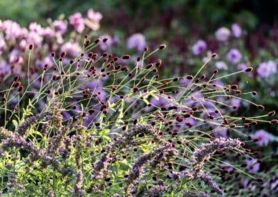 Mexiconessel - Agastache foeniculum