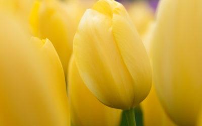 Gelbe Blüten im Garten – Warum Gelb die Gartenwelt spaltet