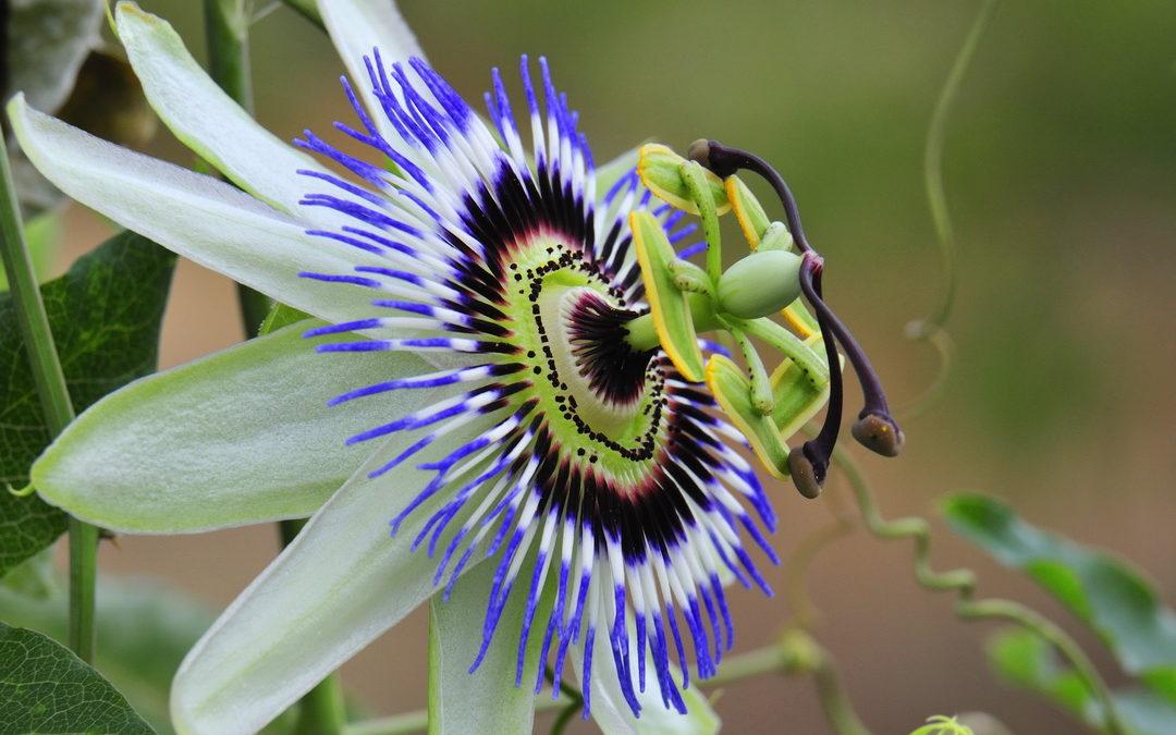 Besondere und noch seltene Kletterpflanzen für den Garten