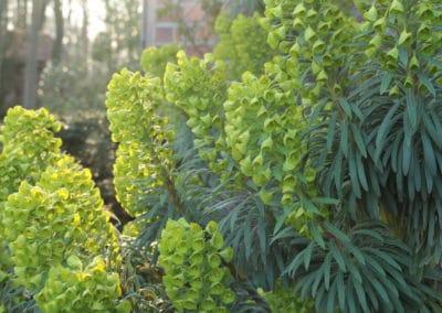 Wolfsmilch - Euphorbia characias ssp.wulfenii