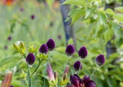 Kugellauch - Allium sphareocephalon