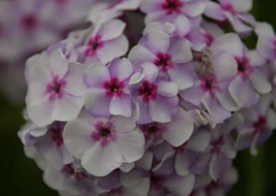 Flammenblume - Phlox paniculata