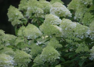 Hortensien - Hydrangea Hybr.