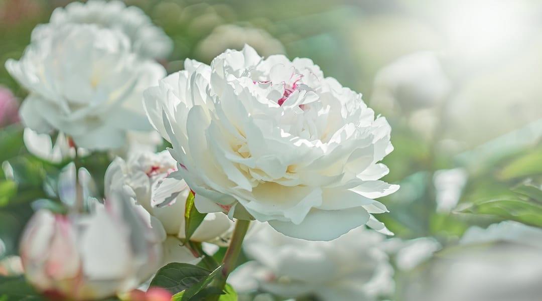 Mondgarten – Wie du einen weißen Garten planst
