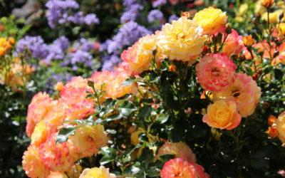 Kordes Rosen – Wie züchtet man eine Rose Herr Proll?