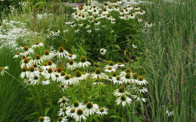 Die Rutenhirse – ein 2020 ausgezeichnetes Gras für deinen Garten